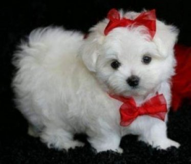 صور Cute White Teacup Maltese Puppies 1