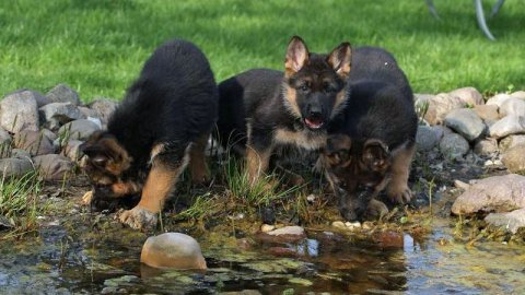 Male and Female German shepherd puppies for adoption