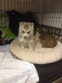 Siberian Husky Puppies With Excellent Love For Sale