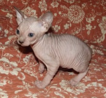 male and femaleSphynx Kittens For Sale