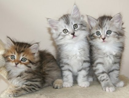 male and female Siberian Kittens Available  male amd female Sibe