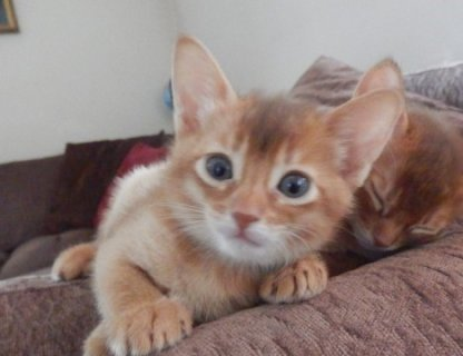 Abyssinian Kittens - LOW COST, BEST QUALITY
