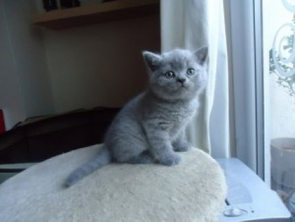 British male and female Shorthair kittens