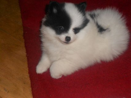 Priceless White Pomeranian Puppy For Sale
