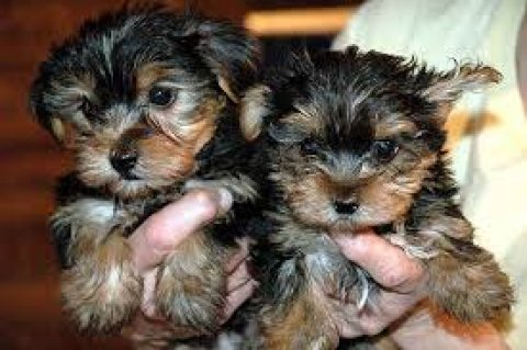 صور  Male and female Teacup Yorkie Puppies Available for sale 1