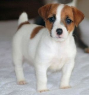 male and female Little Jack Russell Puppies for sale