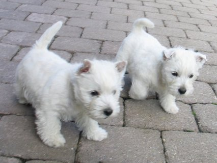 West Haighland Terrier Puppies for sale.