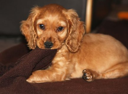 Cockapoo Puppies Available