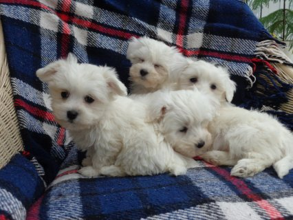 loving our Maltese Puppies available