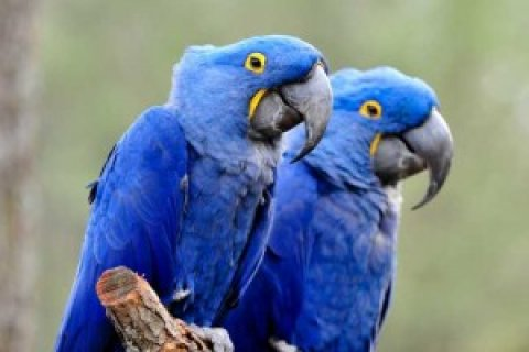 HYACINTH MACAW BIRDS FOR ADOPTION