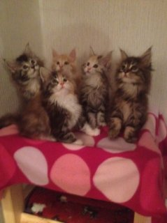 Available Maine Coon Kittens For Sale