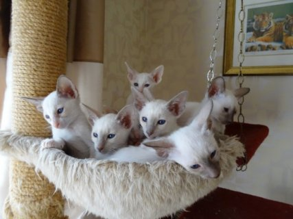 Oriental Shorthaired Female and Male Kitten For Sale