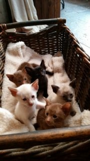 Oriental Shorthaired Kittens For Your New Home