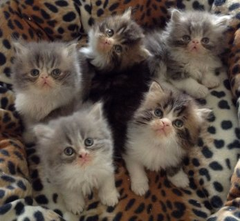 Exotic Shorthair & Persian Kittens for sale