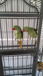 Am looking for a loving home for my Parakeets birds