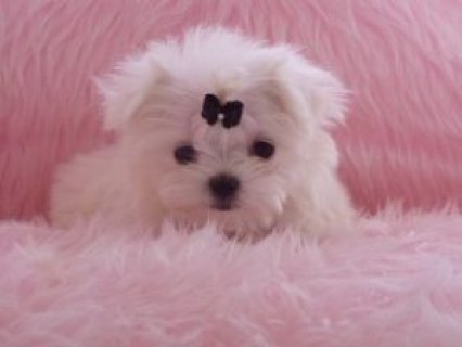 Wow Adorable Male And Female Maltese Puppies For Rehoimng