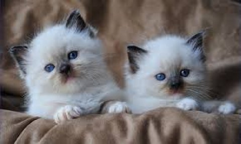 2 Male And Female Ragdoll Kittens For New Home2