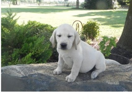 lovely labrador puppy needs some who can take care of them