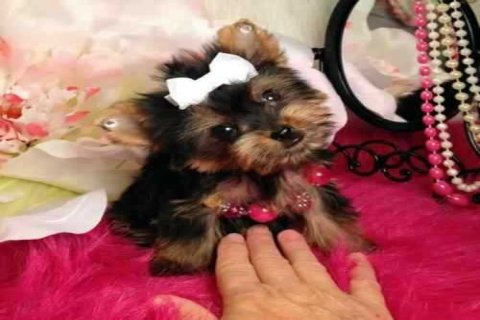 Super Yorkie Pups for Adoption