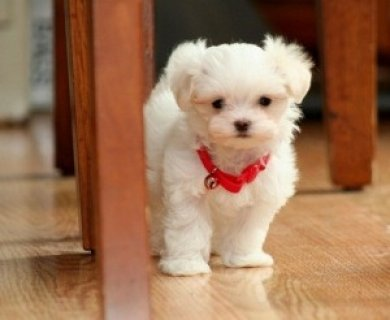 صور Charming Male and Female Maltese Pups 1