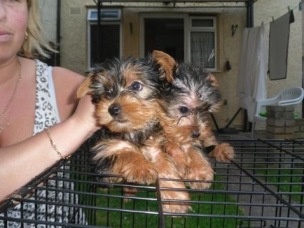 *Tiny Teacup Yorkshire Terrier Puppies Ready to Go