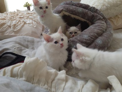 Snow White Ragdoll Kittens for good homes