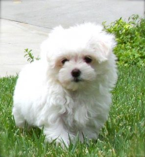صور Maltese puppies ready	 1