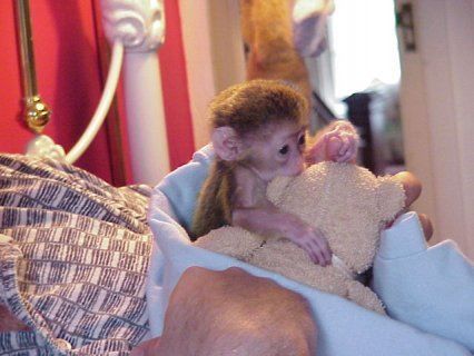 Gorgeous Female Capuchin Monkey   Small, cute and capuchin. Very