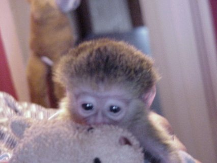 Amazing marmoset Monkeys for Sale   We have 2 amazing little mar