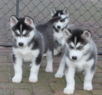Adorable Male and Female Siberian Husky puppies ready to go home