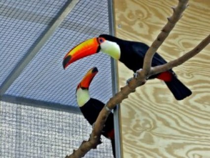 Breeding Pair of Toco Toucans for Sale