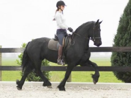 صور Friesian Gelding Horse for Sale.. 1