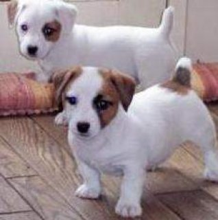 Cute male and female Jack Russell Terrier puppies for sale