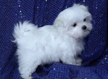 Maltese puppies to give it out for sale.