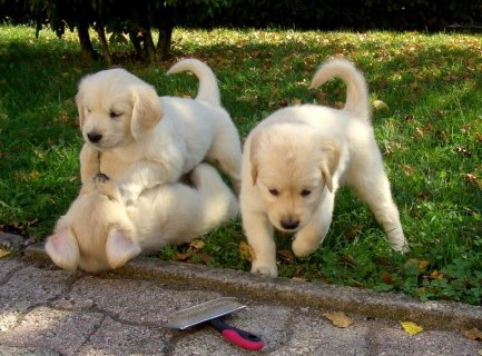 Male and Female Golden Retriever Babies Ready for re-homing