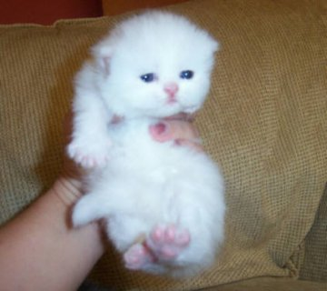 white curly coated Persian kittens