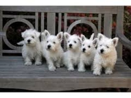Pure Breed Male/Female West Highland White Terrier Puppies