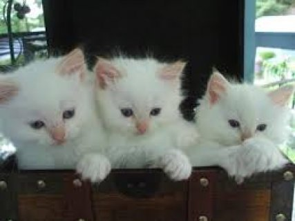 Gorgeous Male and Female Chocolate Bicolor Ragdoll Kittens For S