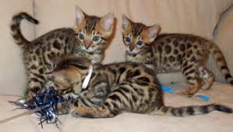 صور Gorgeous Bengal Kittens For Sale 1