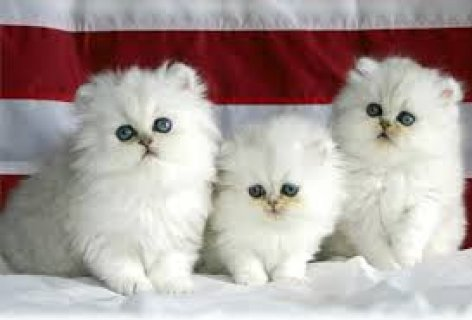 Cute Persian Kittens Available for sale