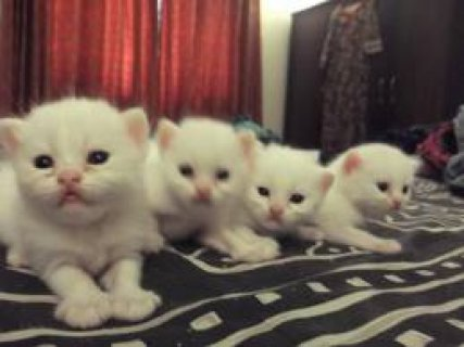 Charming Gifts Persian Kittens Ready For Sale Now Going Fast