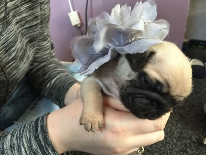 2 Black And Grey Pug Puppies Availabe For rehoming