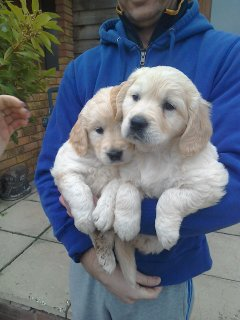 Check Out Golden retriever Puppies For Rehoming