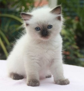 Cute Male And Female Ragdoll Kittens For New Home