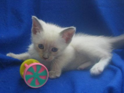 2 Beautiful litter of Siamese Kittens for sale Six beautiful kit