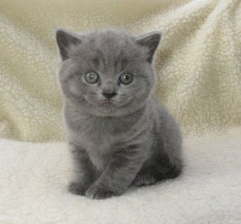 Cutest British Short Hair Kittens Available For Rehoming