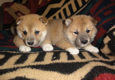 Cute Shiba Inu Puppies now Available