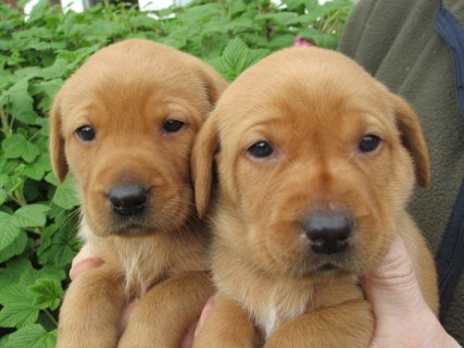 Two Labrador Puppies for adoption