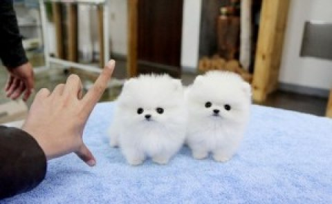 Charming Pomeranian Puppies