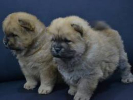 Very Playful Chow Chow Pups For Sale 4343432